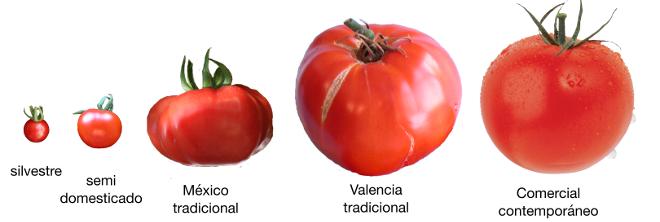 Frutos representativos de la evolución del tomate