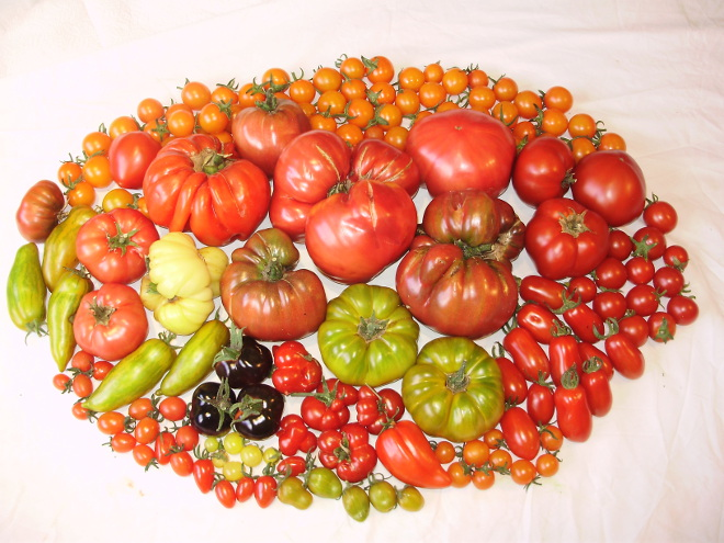 Diversidad tomates